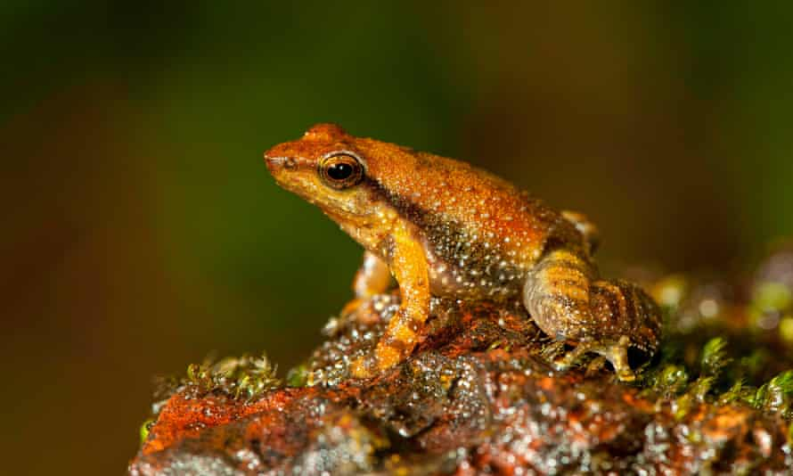 One of the 14 new species of so-called dancing frogs discovered by a team headed by University of Delhi professor Sathyabhama Das Biju in the jungle mountains of southern India