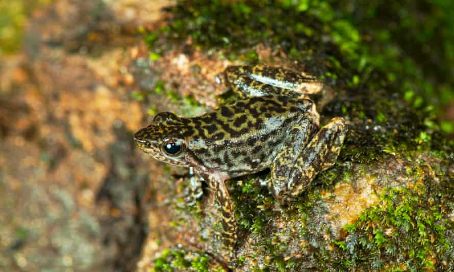 One of the 14 new species of so-called dancing frogs