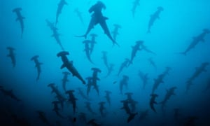 A school of scalloped hammerhead sharks swim off Cocos Island National Park in Costa Rica
