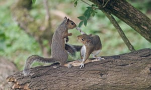 Two Grey Squirrels fighting on branch over food Oxon, UK