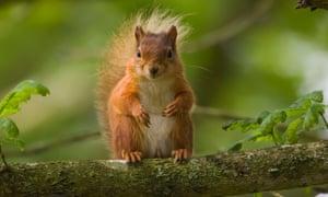 Red Squirrel (Sciurus vulgaris) sitting in a tree on Brownsea Island, Dorset