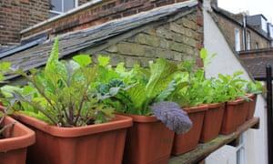 Salad window boxes pots