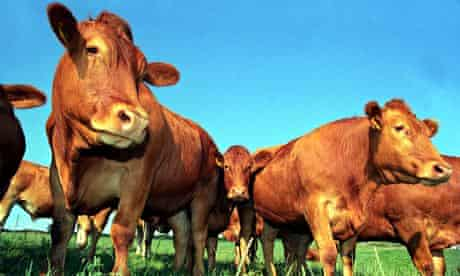 Beef cattle in Devon