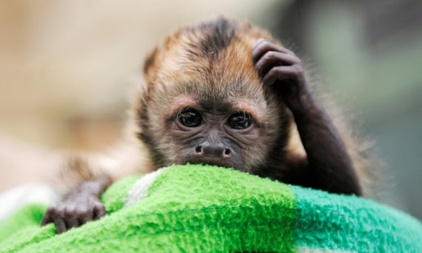 Should keeping monkeys as pets be banned? | Environment | The Guardian