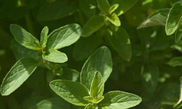 Live Better: summer foraging oregano