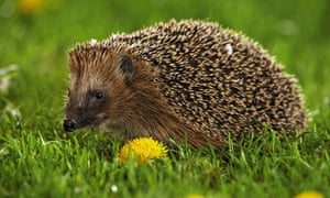 Hedgehog Pet Price >> The Prickly Issue Of Pet Hedgehogs Environment The Guardian
