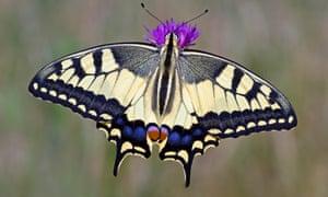 Swallowtail european breed