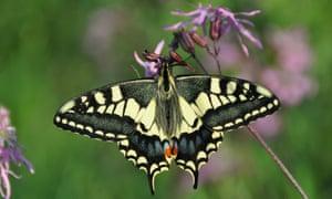Swallowtail (Papilio machaon britannicus)