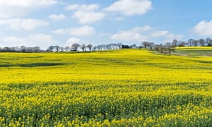 Field of yellow flowering oil seed rape seen from the Lanchester Valley walk Co. Durham England UK