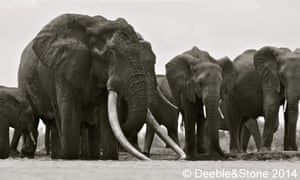 Satao, the world's biggest elephant, with his family