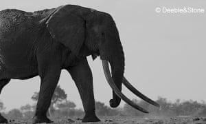 Side view of huge bull elephant in savannah landscape