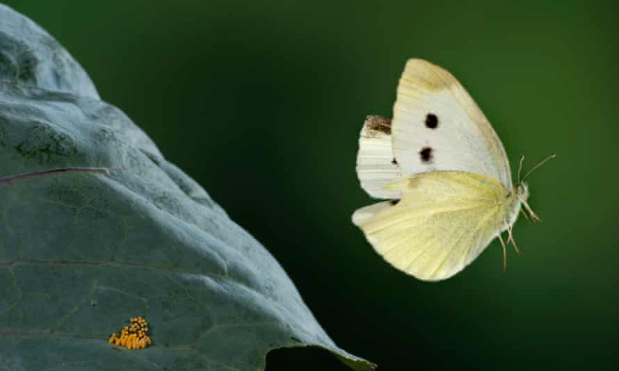 The Large or Cabbage White Butterfly in flight.