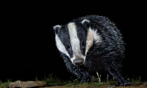 A badger out foraging for dinner.