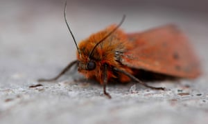 A close up of a Ruby Tiger moth.