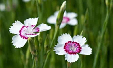 Sweet William Dianthus Arctic fire flowers