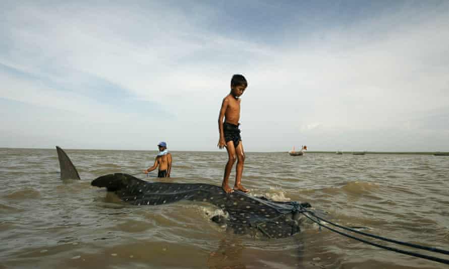 Whale shark in fishing net