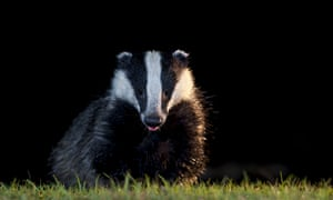 Dominic Dyer, of the Badger Trust and Care for the Wild, said: 'We hope that this is the beginning of the end of badger culling in the UK.'