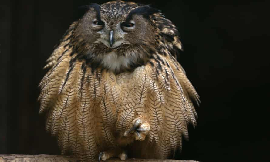 An eagle owl fluffs out its feathers as it sits on one foot on a branch in its enclosure at the Grugapark in Essen. Labour, is this owl up for grabs?