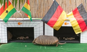Taka walks past the flags of Ghana, left, and Germany at the zoo in Erfurt, during the TV recording of the armadillo's prediction for the match. We don't know which country Taka chose as the TV station kept the result secret but it didn't matter as the match ended in a 2-2 draw.