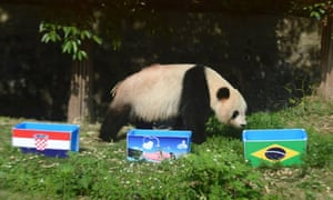"In Yangzhou, Jiangsu province, China, Giant Panda Ying Mei approaches a box of food with the Brazilian flag on it during an event called ""Panda Predicts World Cup Results"", ahead of the opening match between Brazil and Croatia, It was a good chose by Ying Mei as Brazil triumphed 3-1"