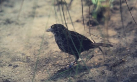 One of the last living male Dusky Seaside Sparrows is seen in this 1981 file photo while in captivity at Santa Fe Community College in Gainesville, Florida. DDT pesticide spraying contributed to the extinction of this species since 1940.