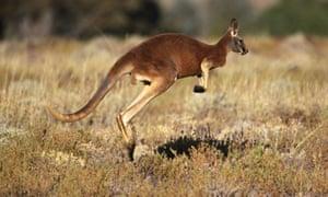 Red Kangaroo (Macropus rufus), Sturt National Park. New South Wales, Australia