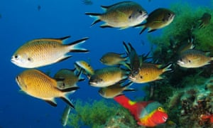 Azores chromis, ornate wrasse and parrotfish seen on an Oceana expedition at Cagafrecho, Lanzarote, Canary Islands, Spain