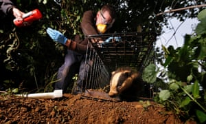 Project Officer John Field releases a vaccinated badger as part of the Badger TB vaccination programme at Gloucestershire Wildlife Trust's Greystones Farm Nature Reserve near Bourton-on-the-Water.