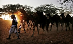 Herders lead their camels to the Pushkar fair,  Rajasthan