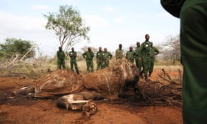 Unarmed rangers standing next to the carcass of an elephant which was recently killed by poachers for its ivory at the Kasigau wildlife migration corridor between Tsavo East and Tsavo West, Kenya
