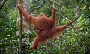 An endangered Sumatran orangutan with a baby  in the forest of Bukit Lawang, Indonesia's Sumatra island.