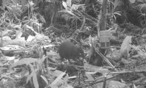 Dorcopsulus wallaby