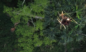 An aerial photo taken by a drone and released by ConservationDrones.org. An orangutan, right, is seen atop a palm tree in a tropical rainforest in Aceh, Sumatra, Indonesia.