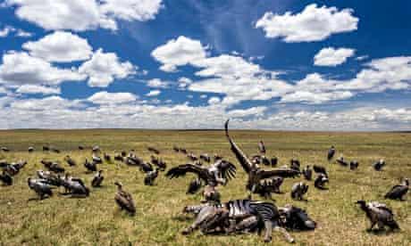 Vultures feeding on zebra