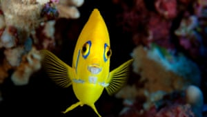 Caption: A Lemonpeel Angelfish (Centropyge flavissima) observed at Henderson Island while on a National Geographic Pristine Seas expedition to the Pitcairn Islands in 2012.