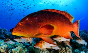 Grouper fish, Variola louti (red and yellow) and Epinephelus fasciatus on the fore reef of Oeno Atoll, Pitcairn Islands