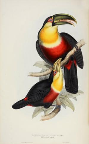 Ramphastos Dicolorus - Red-Breasted Toucan