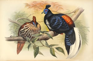 Euplocomus Vieilloti - Vieillot's Crested Fireback