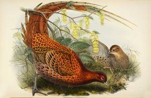 Phasianus Soemmeringi - Soemmering's Pheasant or Copper Pheasant