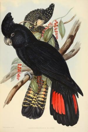 Calyptorhynchus Banksii - Red Tailed Black Cockatoo