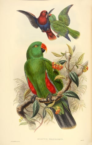 Eclectus Polchlorus - New Guinea Red-Sided Eclectus parrot