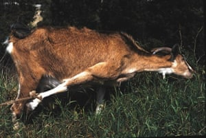 tethered goat pulling on a rope tied to its foot