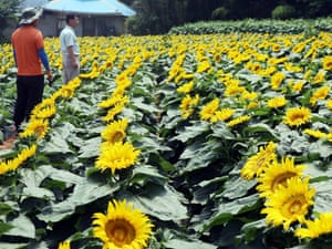 Little sunflowers are in full bloom on a field in Dangjin, South Chungcheong Province, South Korea