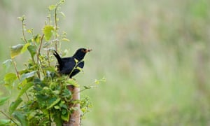 Blackbird with insect, Flamborough, East Yorkshire