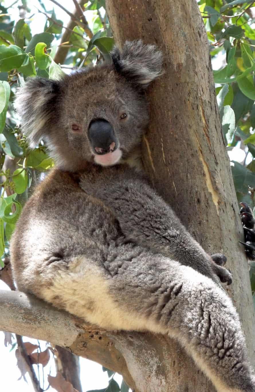 koala heatwave