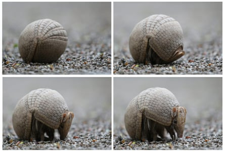 A three-band armadillo leaves its defensive position
