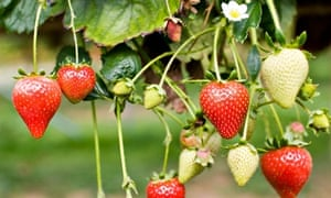 Strawberries growing on a bush