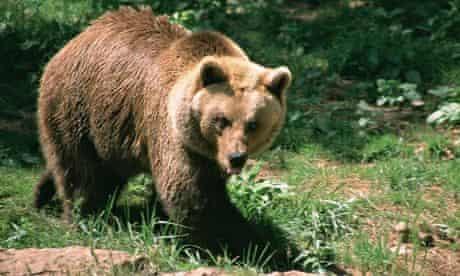 A Pyrenean brown bear.  (Ursus arctos)