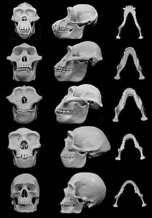 the human face developed over 5m years of fisticuffs, scientists, Skeleton