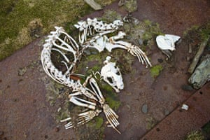 The skeleton of a fur seal at Leith Harbour. In summer the whaling stations are taken over by fur seals, and their vicious fights for territory can be fatal.